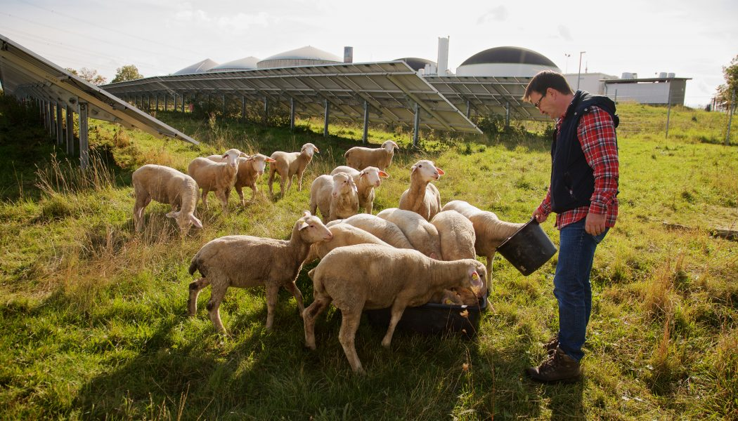 Schafe Erbenhof