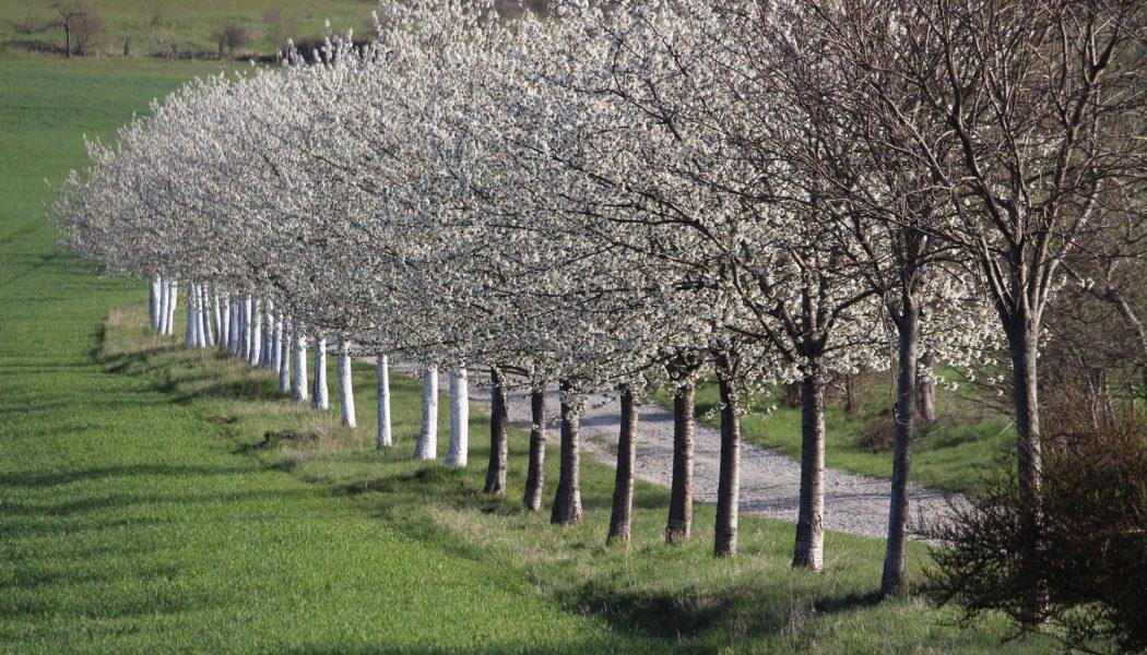 Kirschallee in Röttelmisch in voller Blüte