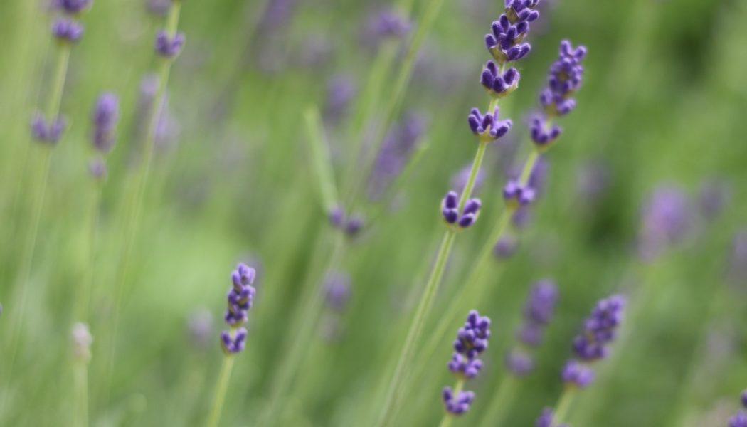 Kräuter-Hintergrundbild-Lavendel